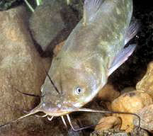 Typical Bullhead scouring the lake bottom