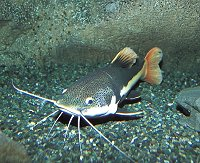 Typical Catfish scouring the river bed bottom -  CLICK IMAGE FOR FULL VIEW